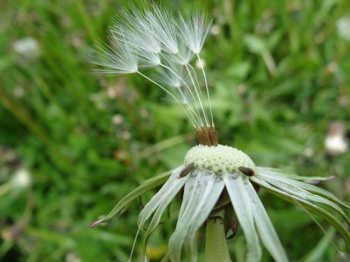 dandelion taraxacum officinale flower