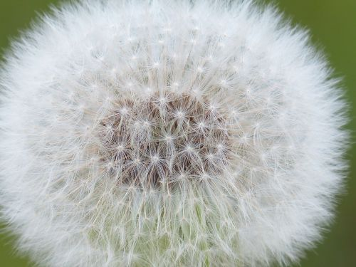 dandelion seeds common dandelion