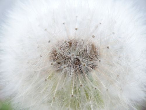 dandelion common dandelion taraxacum sect ruderalia