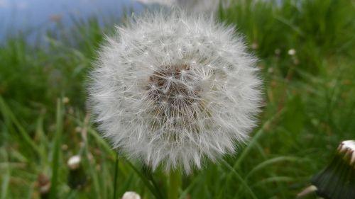 dandelion wild flower flower