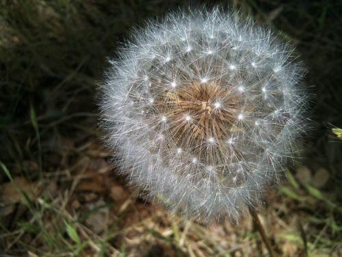 dandelion seedpod intact
