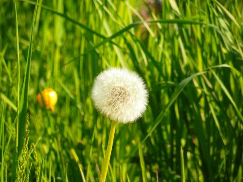 dandelion grass nature