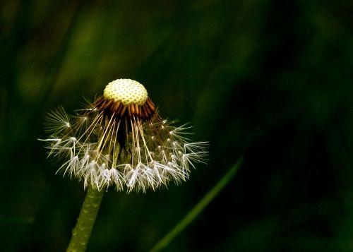 dandelion blowball wild flower