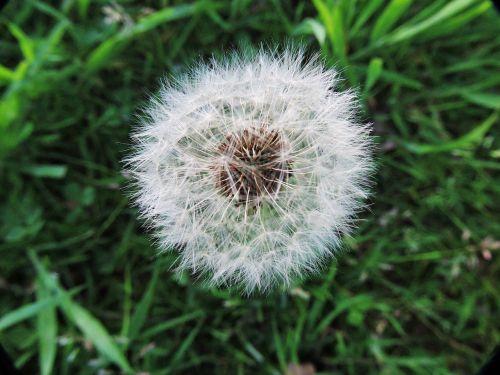 dandelion fluff wishes