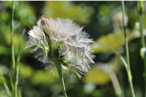 dandelion seeds screen