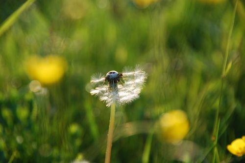 dandelion pointed flower grass