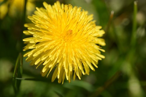 dandelion,blossom,bloom,yellow,flower,plant,yellow flower,meadow,summer,nature,spring awakening,landscape
