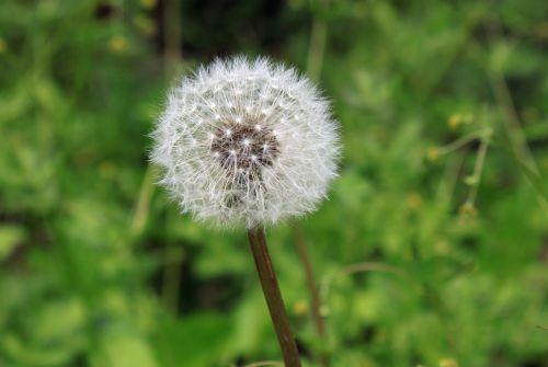 dandelion seed weed