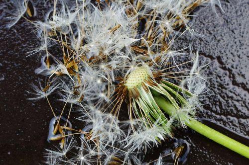 dandelion plant rain