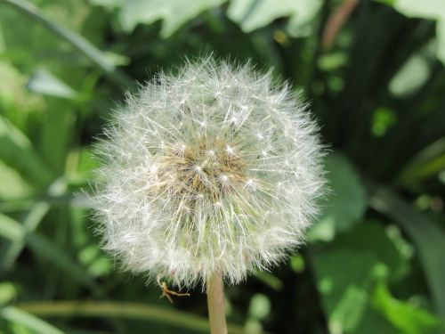 dandelion blowing white