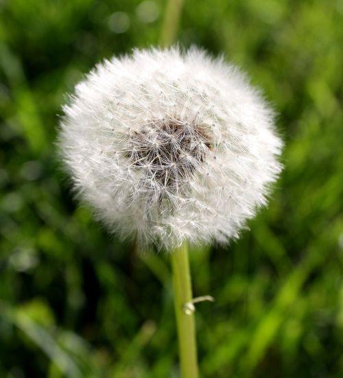 dandelion puff ball nature