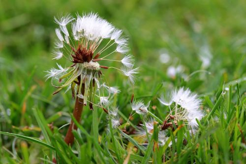dandelion flying seeds seeds