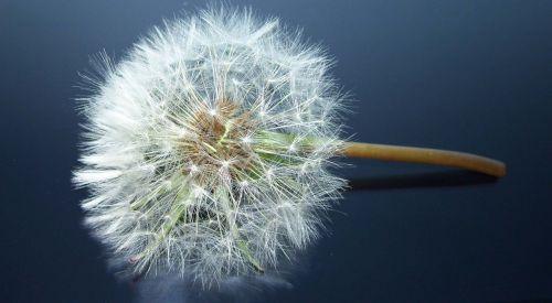 dandelion sonchus oleraceus meadow