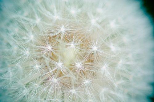 dandelion seeds number of lion