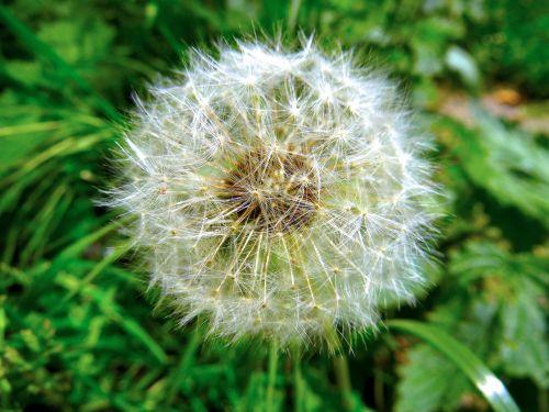 dandelion green nature