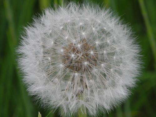 dandelion white slightly