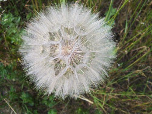 dandelion sonchus oleraceus vulgaris