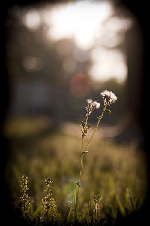 dandelion grass sunset