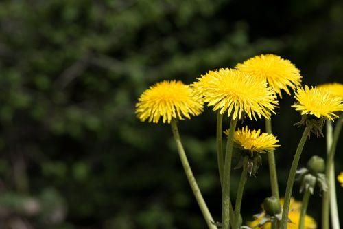 dandelion yellow yellow flower