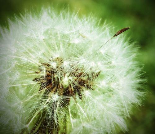 dandelion plant weed