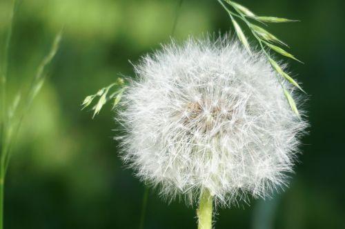 dandelion faded seeds