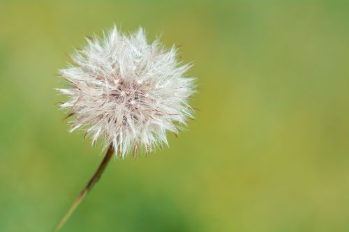 dandelion faded flower seeds