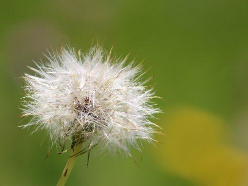 dandelion fluff natural
