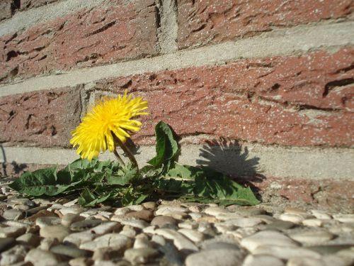 dandelion flower roadside