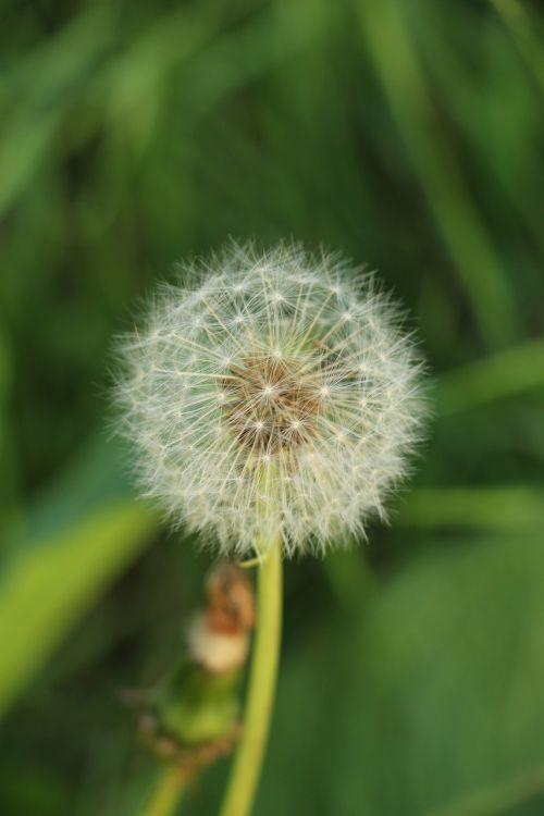 dandelion dandelion fluff flower