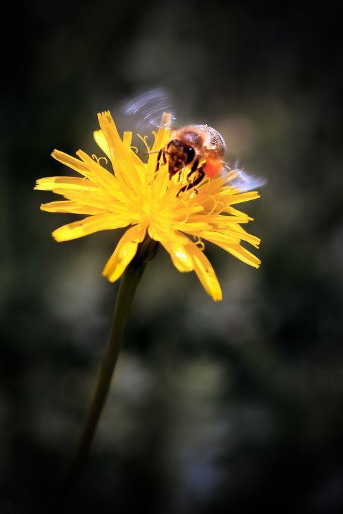 dandelion bee yellow
