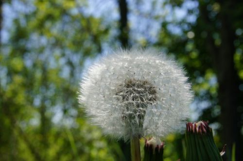 dandelion faded flower
