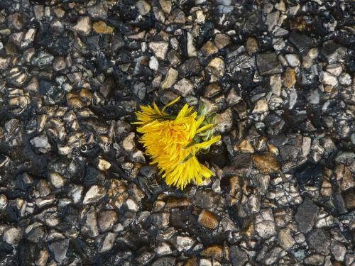 dandelion tar gravel