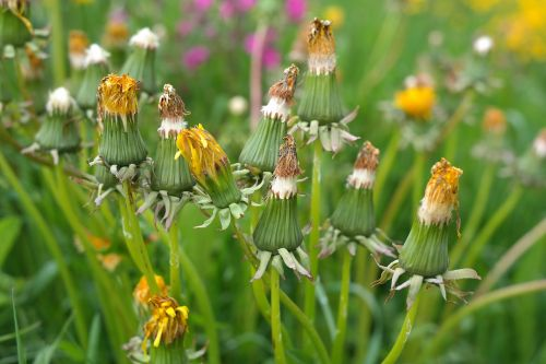 dandelion bloom inflorescence