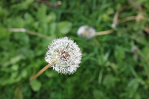 dandelion neutralizer neutralizes dad-bald