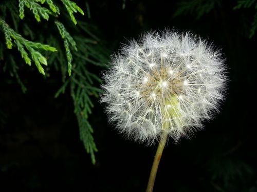 dandelion time nature