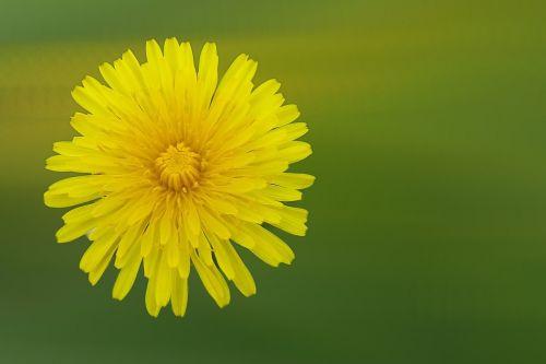 dandelion flower blossom