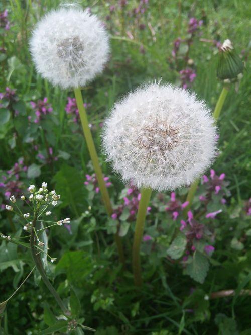 dandelion dandelions summer