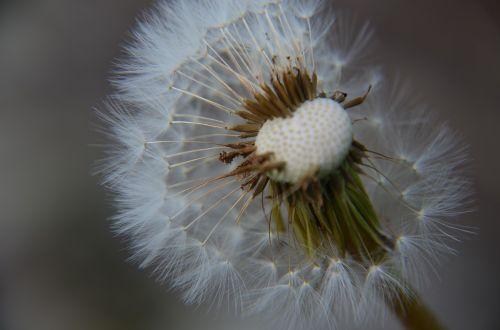 dandelion wish nature