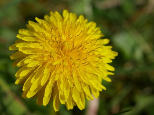 dandelion yellow close