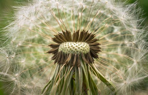 dandelion mr hall seeds