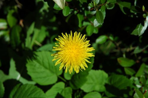 dandelion flower garden