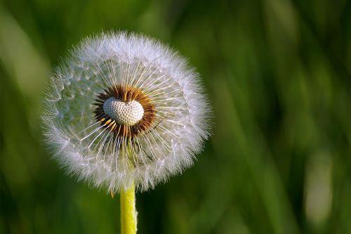 dandelion flower close