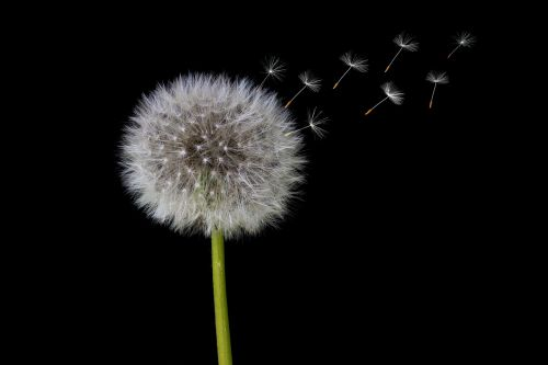 dandelion seeds dandelion seeds