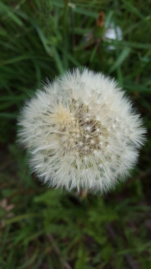 dandelion fluff flower