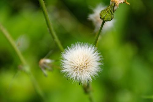 dandelion fruits taraxacum officinale