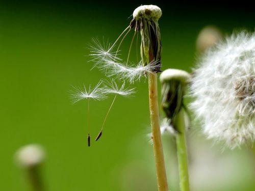 dandelion buttercup faded
