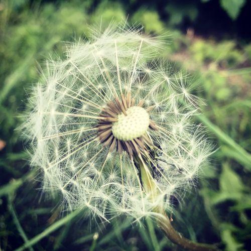 dandelion clock flower