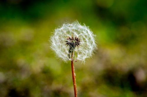 kiaulpienė,sėklos,gėlė,vasara,pavasaris,augalas,augimas,žiedas,trapumas,pučia,žiedadulkės,purus,piktžolių,minkštas