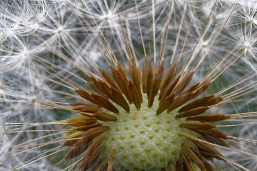 dandelion common dandelion taraxacum