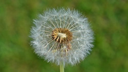 dandelion seeds nature